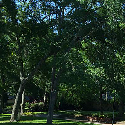 Large lush trees in a park like setting
